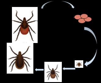 Ixodes scapularis - Deer Tick life cycle