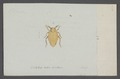 Delphax - Print - Iconographia Zoologica - Special Collections University of Amsterdam - UBAINV0274 042 03 0003.tif