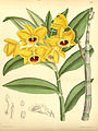 Dendrobium chryseum (as Dendrobium clavatum Wall. ) - Curtis' 114 (Ser. 3 no. 44) pl. 6993 (1888).jpg