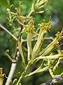 Dendrophthoe falcata var. falcata - Honey Suckle Mistletoe at Blathur 2017 (4).jpg