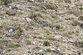Desert Bighorn Sheep (Ovis canadensis nelsoni) (21089386196).jpg