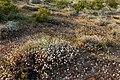 Desert blooms (13496686204).jpg