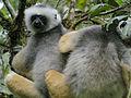 Diademed Sifaka, Mantadia, Madagascar (4309652570).jpg