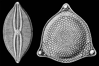 Diatom - Selections from Ernst Haeckel's 1904 Kunstformen der Natur (Art Forms of Nature), showing pennate (left) and centric (right) frustules.