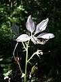 Dictamnus albus sl51.jpg