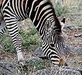 Dining zebra (26863484178).jpg