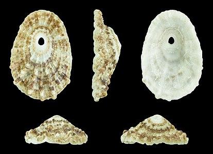Diodora spreta (Smith, 1901); Length 2.5 cm; Originating from Jeffreys Bay, South Africa