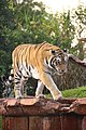 Disney-Animal-Kingdom-Tiger-8221.jpg
