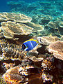 Diving Maldives, 2009 Surgeonfish.jpg