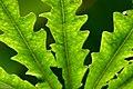 Dizygotheca elegantissima (15).jpg