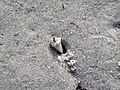 Donax varaibilis (variable coquina clam) & trail & burrow (Cayo Costa Island, Florida, USA) 3 (26048472835).jpg