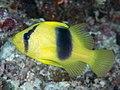 Doublebanded soapfish (Diploprion bifasciatum) (39762210363).jpg