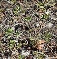 Draba cuneifolia 2.jpg