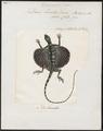 Draco lineatus - 1700-1880 - Print - Iconographia Zoologica - Special Collections University of Amsterdam - UBA01 IZ12700015.tif