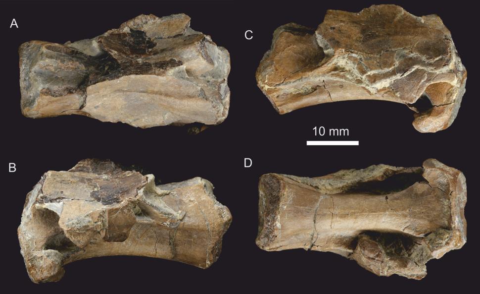 Dracoraptor cervical vertebra