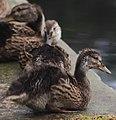 Ducks (14779598860).jpg