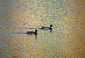 Ducks on a Pond.jpg