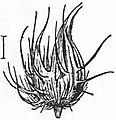 EB1911 - Grasses Fig. 12.jpg