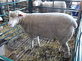 EXPOINTER 2013 02 Sheep.JPG