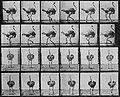 Eadweard Muybridge Gehender Strauß 001.jpg