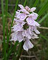 Early Marsh Orchid. Dactylorhiza incarnata (38530212405).jpg