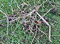 Earthworm (Lumbricus terrestris) Plug, Chapeltoun, Scotland.JPG