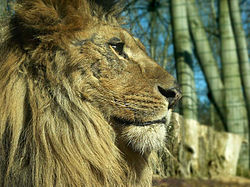 Crinière du Lion dans LION