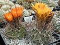 Echinopsis pentlandii1b.MW.jpg