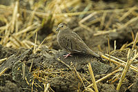 Ecuadorian Ground-Dove S4E7911.jpg