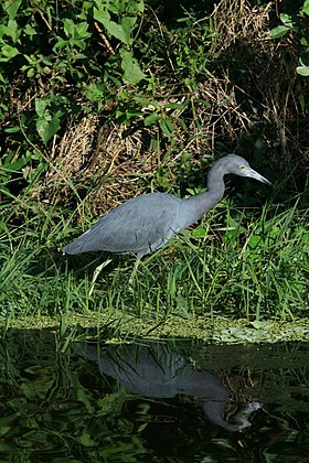 Egretta caeruela in Loxahatchee National Wildlife Refuge.JPG