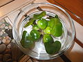 Eichhornia crassipes in water bowl 2.JPG