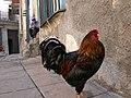 El gallo c habana emilito - panoramio.jpg