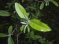 Elaeagnus multiflora 2016-04-22 8269.jpg