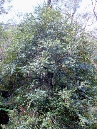 Elaeocarpus holopetalus - Image: Elaeocarpus holopetalus Leura tree