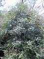 Elaeocarpus holopetalus - Leura tree.JPG