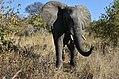 Elephant, Ruaha National Park (14) (28442576420).jpg