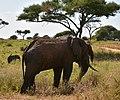 Elephants, Tarangire National Park (23) (28415258870).jpg