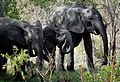 Elephants at Mole National Park.jpg
