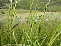 Elymus trachycaulus (3821790921).jpg