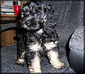 Emma the black cockapoo puppy (2006).jpg