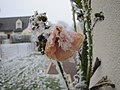 En Bretagne rose trémière le 31 décembre.jpg
