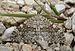 Entephria caesiata Buchstein01.jpg