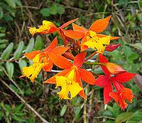 Epidendrum radicans, the Bandera Español Orchid. (10909482544).jpg