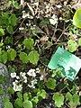 Epimedium pubigerum - Copenhagen Botanical Garden - DSC07452.JPG