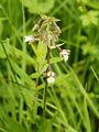 Epipactis palustris (plant).jpg