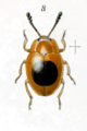 Epopterus ephippiger.png