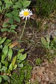 Erigeron peregrinus 6295.JPG
