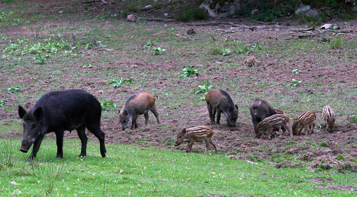 Stor flock vildsvin vid e6an