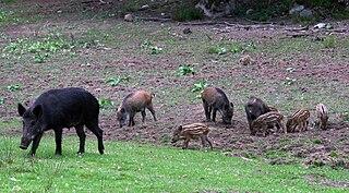 Diviak lesný (lat. Sus scrofa) - rôzne vekové kategórie mláďat