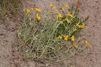 Eriophyllum lanatum - Image: Eriophyllum lanatum 3575
